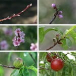 ciclo del Prunus persica, desde la yema hasta convertirse en un fruto maduro.