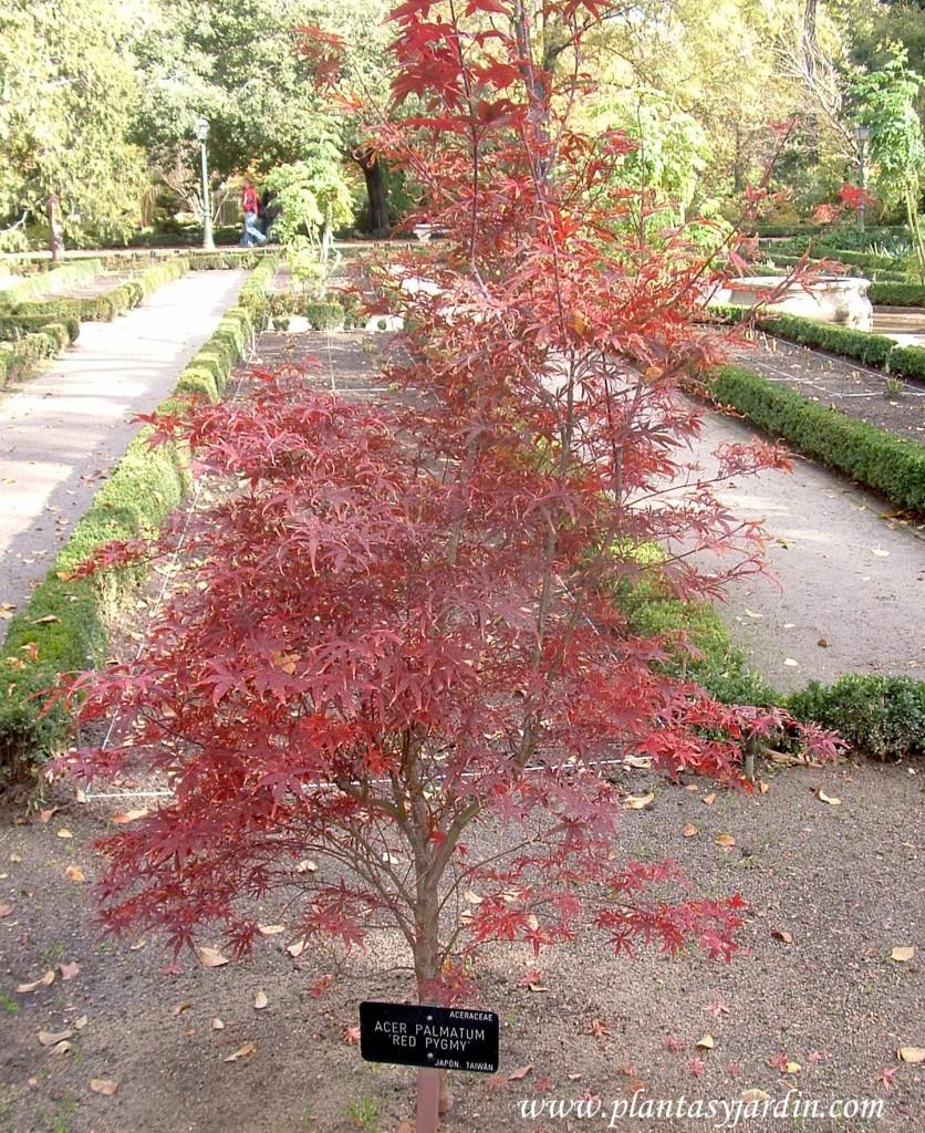 "Acer palmatum ""Red Pygmy"" en otoño."