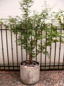 Acer palmatum con piedra bola en cilindro de fibrocemento