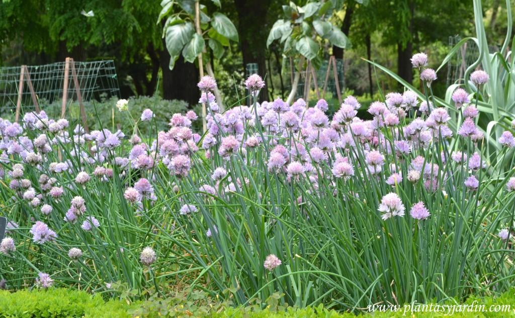 Allium schoenoprasum-Cebollino con flores color rosa violáceo.