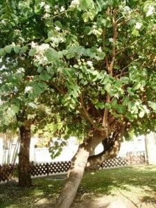 Bahuinia variegata-Pata de vaca