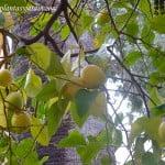 fruto carnoso, hesperidio, Citrus limon.