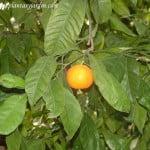 fruto carnoso, hesperidio, Citrus reticulata.