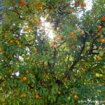 fruto carnoso, hesperidio, Citrus sinensis.