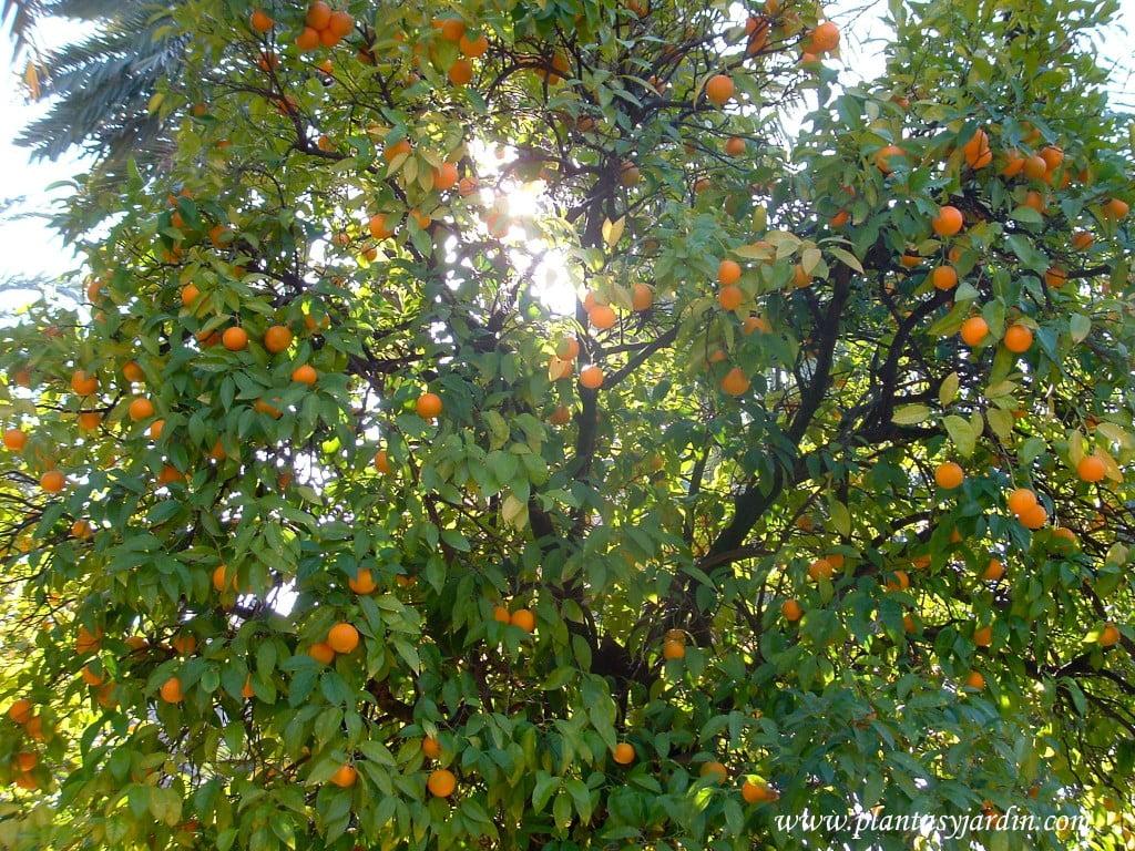 Citrus sinensis-Naranjo.