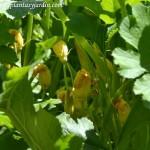 Cucurbita pepo, flor del Calabacín-Zucchini, en verano.