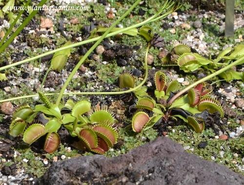 Dionaea muscipula-Venus atrapamoscas.
