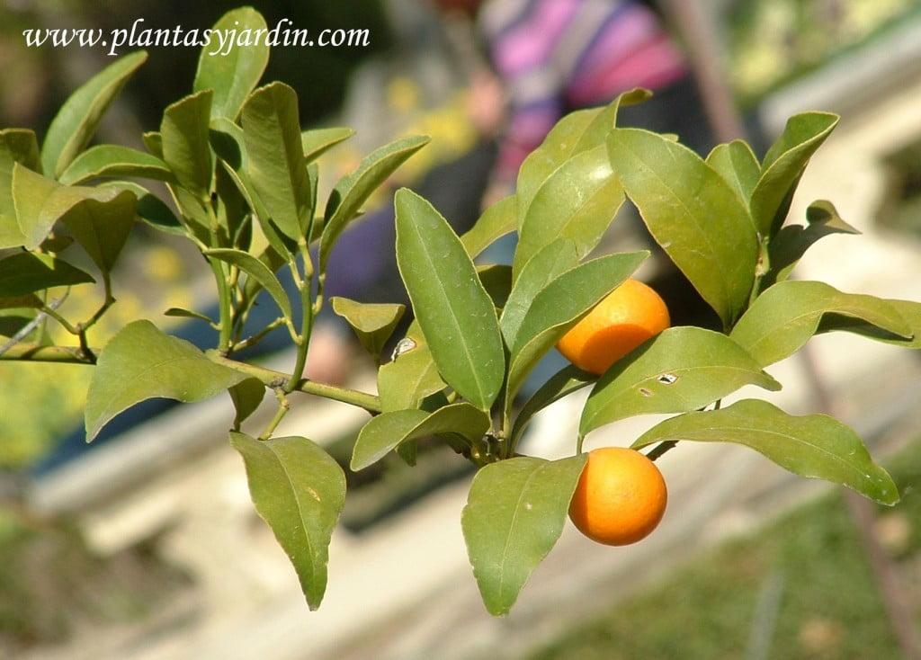 """Fortunella margarita """"Conquat"""", detalle fruto."""