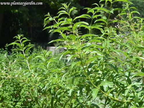 Hierbaluisa-Aloysia citriodora-Lippia citriodora