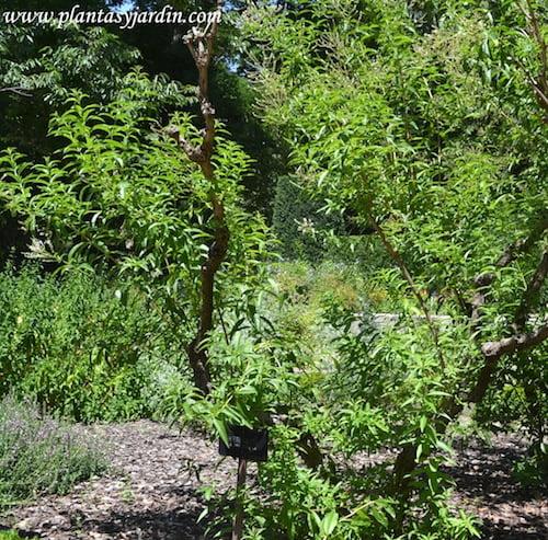 Hierbaluisa, arbusto con tallos subleñosos.