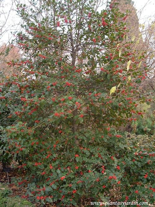 Ilex aquifolium-Acebo en invierno, con frutos rojos.
