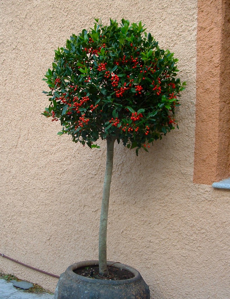 Ilex aquifolium-Muérdago en arbolito topiario