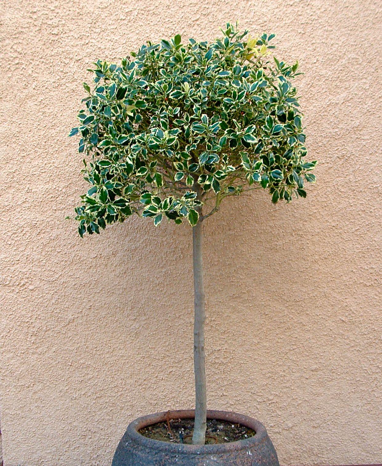 Rboles ornamentales para jardines peque os plantas y jard n for Arbustos para macetas exterior