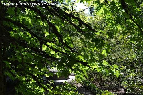 Liquidambar detalle de ramas con hojas.