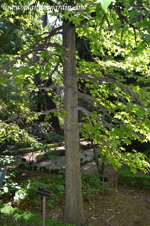 Liquidambar detalle de tronco y disposición de ramas.