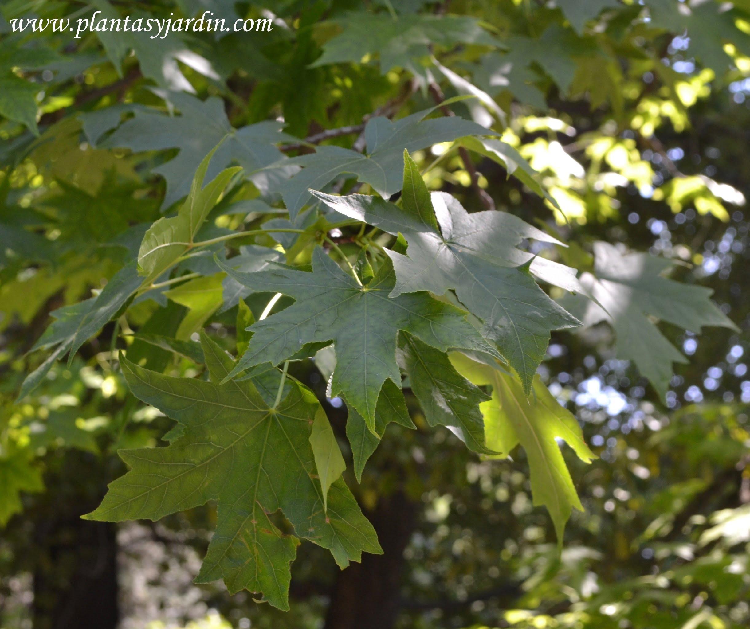 Liquidambar detalle follaje, hojas palmadas.