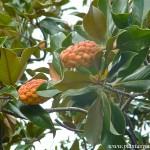 fruto seco dehiscente, folículo, Magnolia grandiflora.