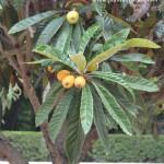fruto carnoso, pomo, del Níspero.