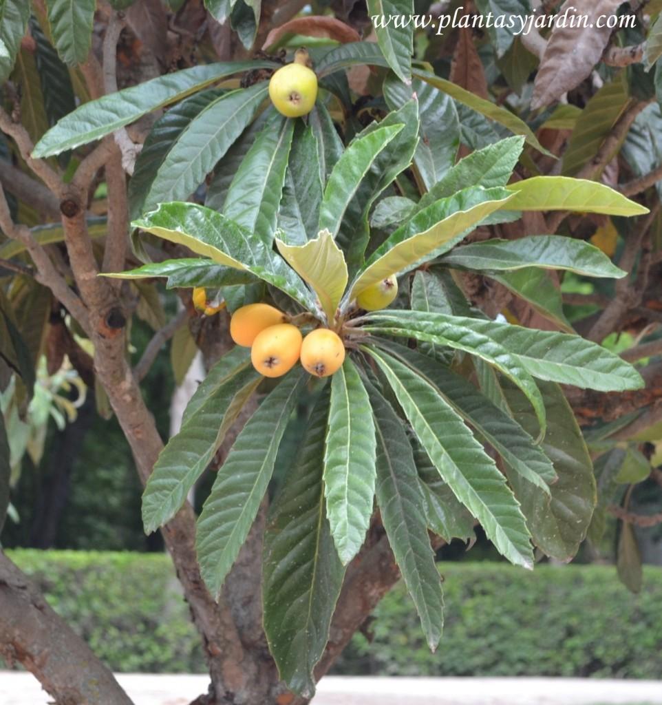 Níspero en primavera con el fruto en la planta.