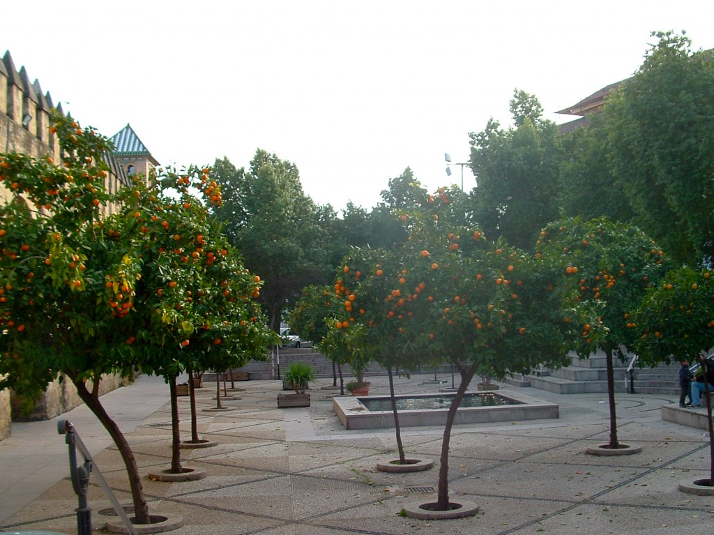 Naranjos en un plaza en Córdoba-Andalucía.