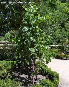 """Parra """"Moscatel Romano"""" en verano."""