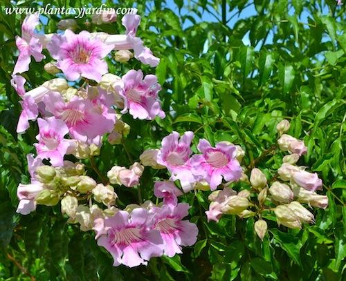 Podranea ricasoliana detalle floración.