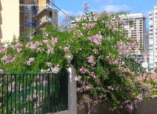 Podranea ricasoliana especie muy florifera.
