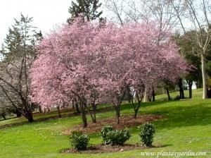 Prunus cerasifera, recién florecidos a finales del invierno.