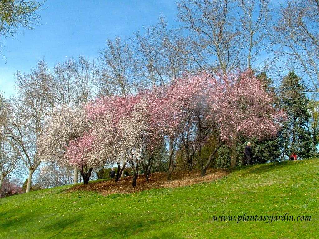 Prunus, en conjunto, de flores blancas y rosadas, florecidos a finales del invierno.