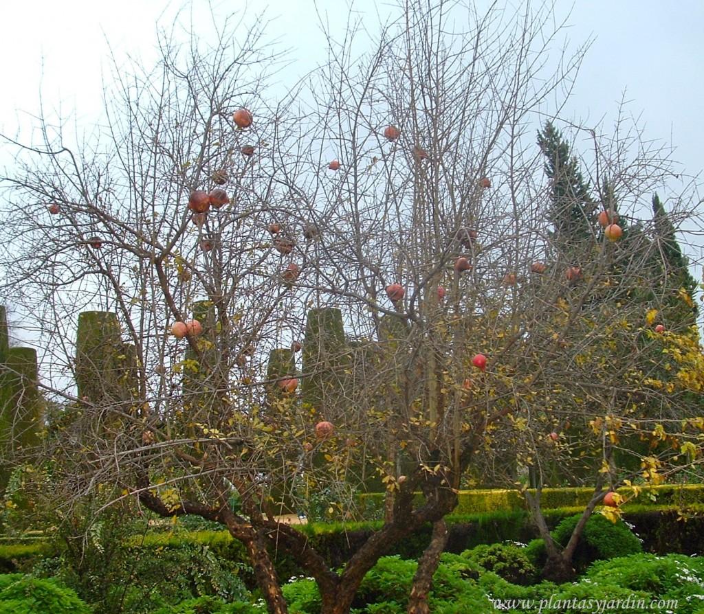 Punica granatum, caduco y con frutos, en otoño.