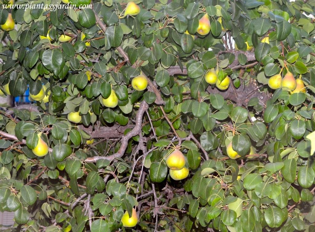 Pyrus communis-Peral común, con fruto en verano.