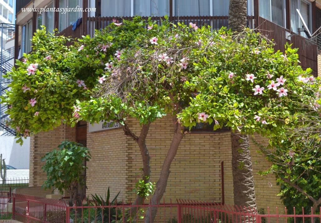 Rosa china podada en forma de arbolito y florecida a comienzos del verano.