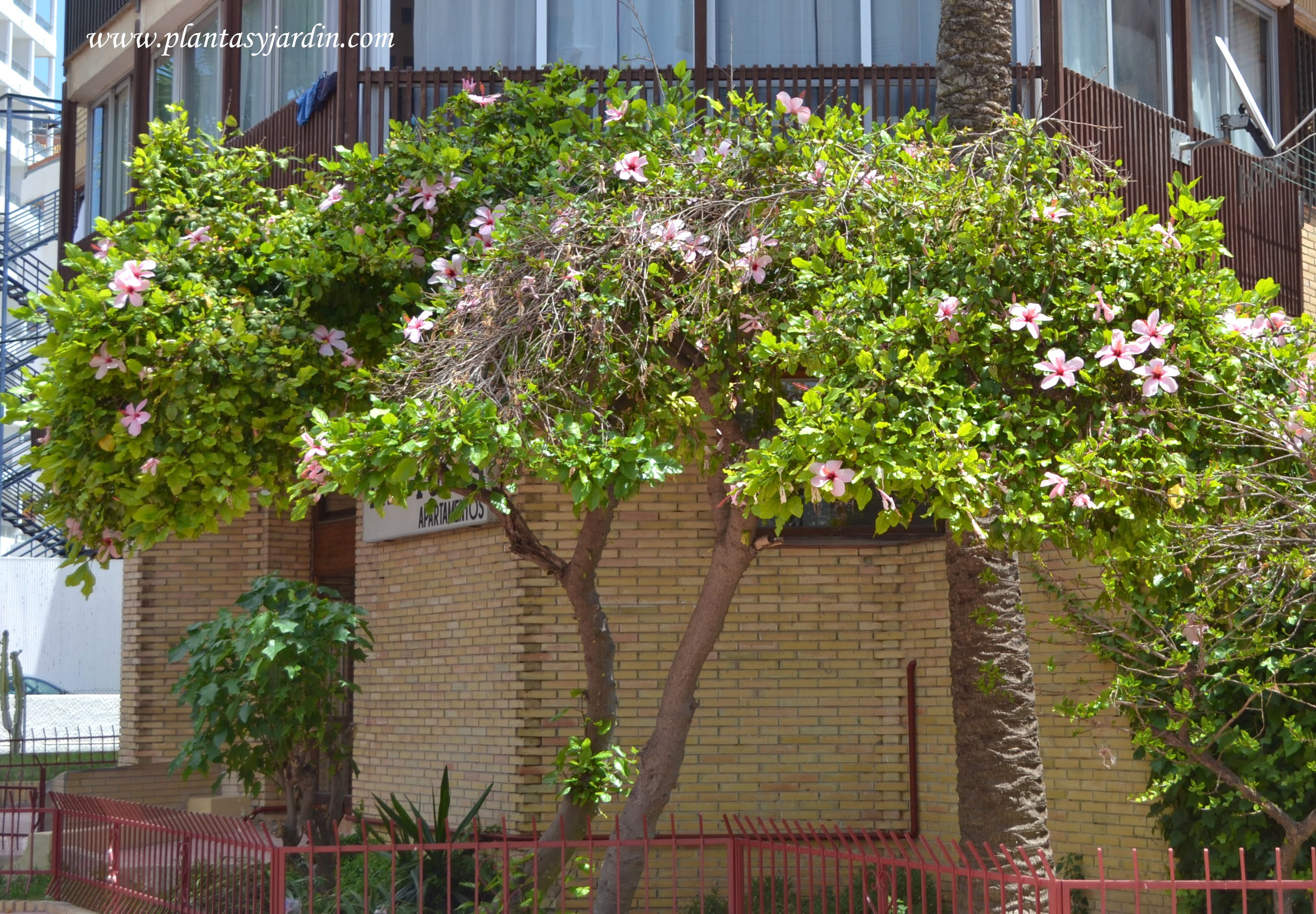 Rosa china podada en forma de arbolito y florecida a for Arbustos para macetas exterior