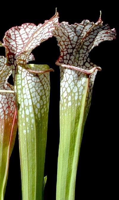 Sarracenia leucophylla. Foto: www.carnivorousplants.org