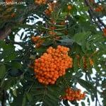 Sorbus aucuparia con fruto en verano.
