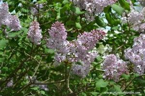 Syringa vulgaris, flores en racimo de cimas, a comienzos de la primavera.