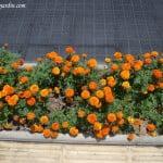 Tagetes florecidos a finales de la primavera, cultivados en jardineras.
