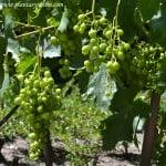 Vitis vinifera con frutos (bayas carnosas y jugosas)