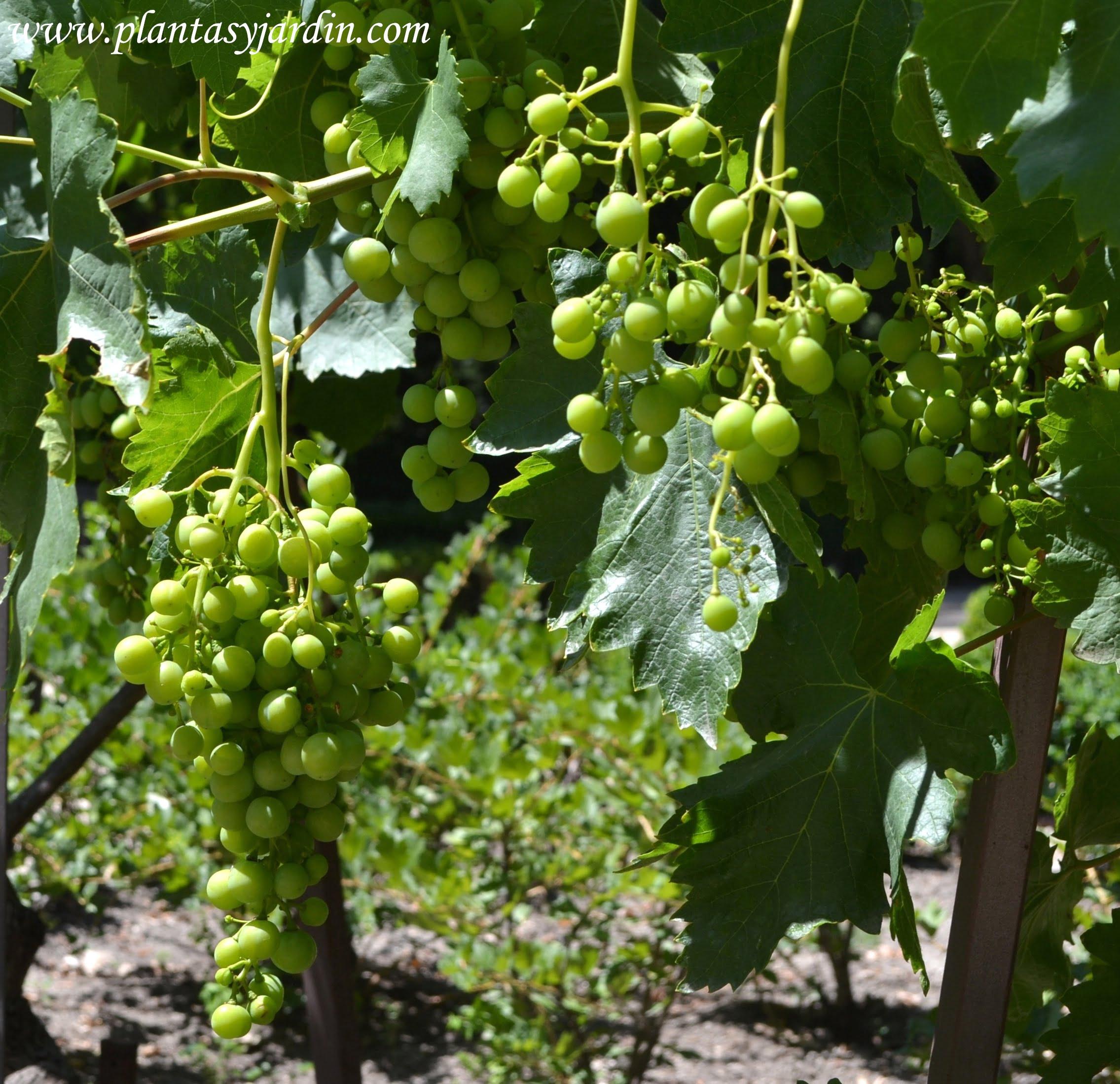 Vitis vinifera con uvas en la planta, en verano.