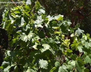Vitis vinifera, follaje y fruto en bayas.
