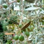 drupa ovoide del Olivo-Olea europaea- Aceitunas.