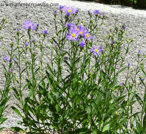 """Aster amellus """"Violet Queen"""" florecido a comienzos del verano."""