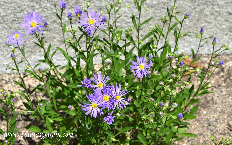 "Aster amellus ""Violet Queen"" nativa de Europa."