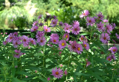 "Aster novae-angliae ""Harrington's Pink"" Aster de Nueva Inglaterra."