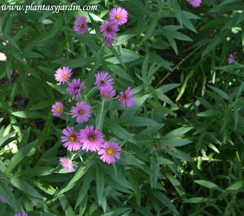 "Aster novae-angliae ""Harrington's Pink"" en verano."