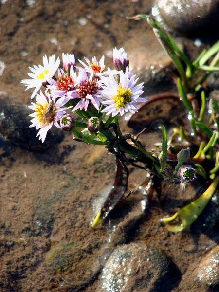 Aster tripolium nativa del norte de Europa. Foto: Wikipedia.