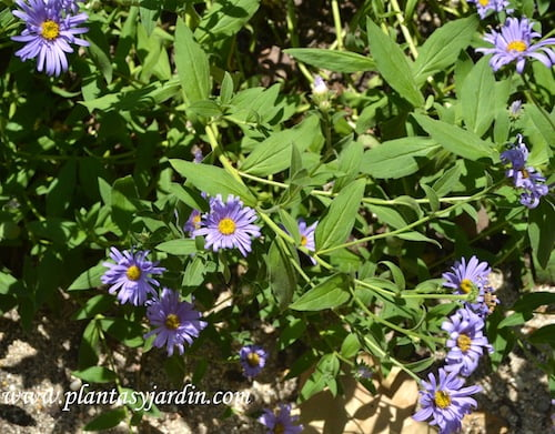 "Aster x frikartii ""Monch""."