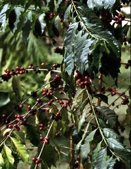 Coffea arabica, detalle de frutos. Foto: Wikipedia