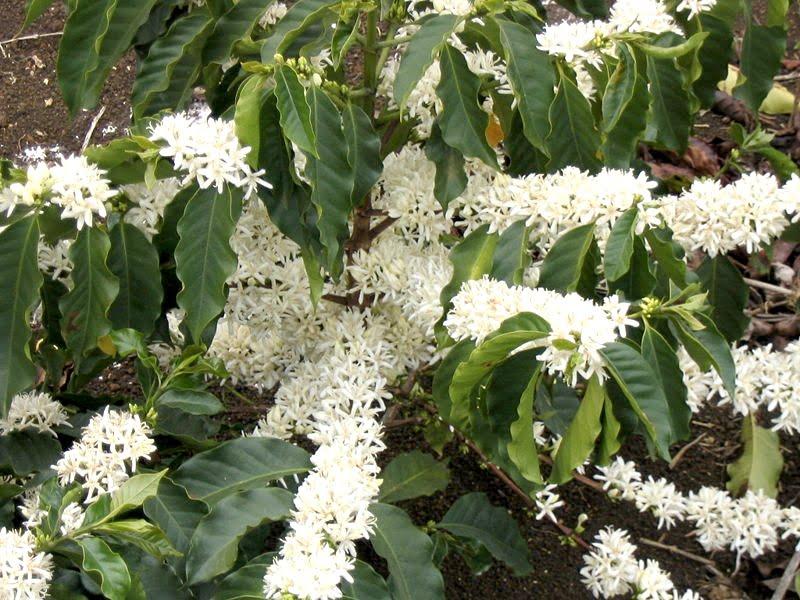flores de Coffea arabica. Foto: Wikipedia