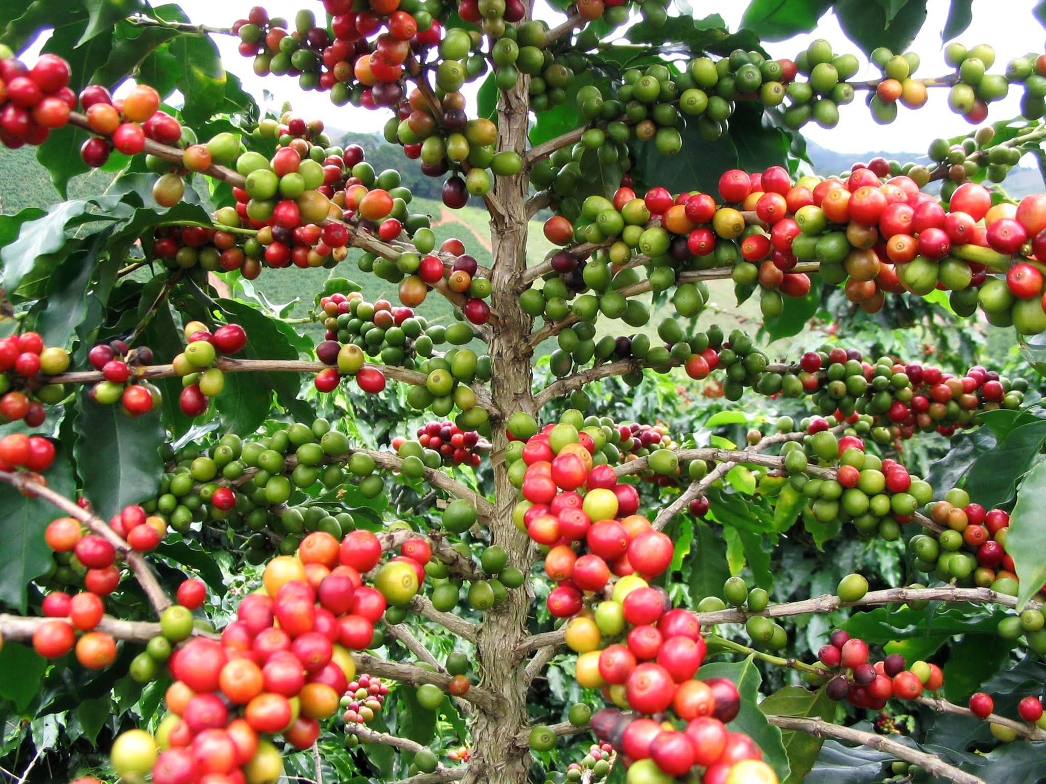 Coffea arabica, detalle de frutos en la planta. Foto: Wikipedia